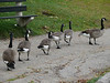 Canada Geese at South Pond, Lincoln Park.
